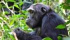 Chimpanzé safari photo
