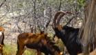 safari hippotrague noir