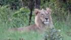 safari buffle
