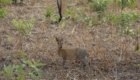chasse savane afrique