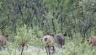 chasse au buffle de savane