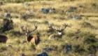 chasse aux cerfs nouvelle zelande